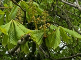 Love the horse chestnuts
